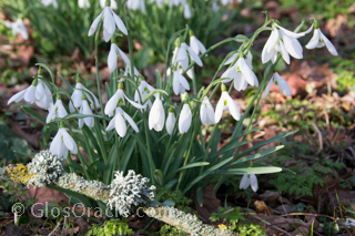 Snowdrops at Painswick Rococo Gardens Local Businesses