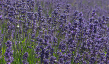 Gloucestershire Places to Visit Gardens & Aboretums - Cotswold Lavender