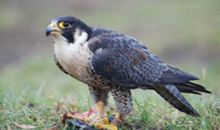 Gloucestershire Services Other Businesses - John Dowling Falconry Ltd